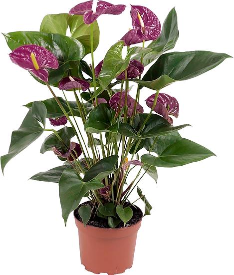 """PLANTA ANTURIO GRANDE (Anthurium spp) EN MACETA DE 8"""""""