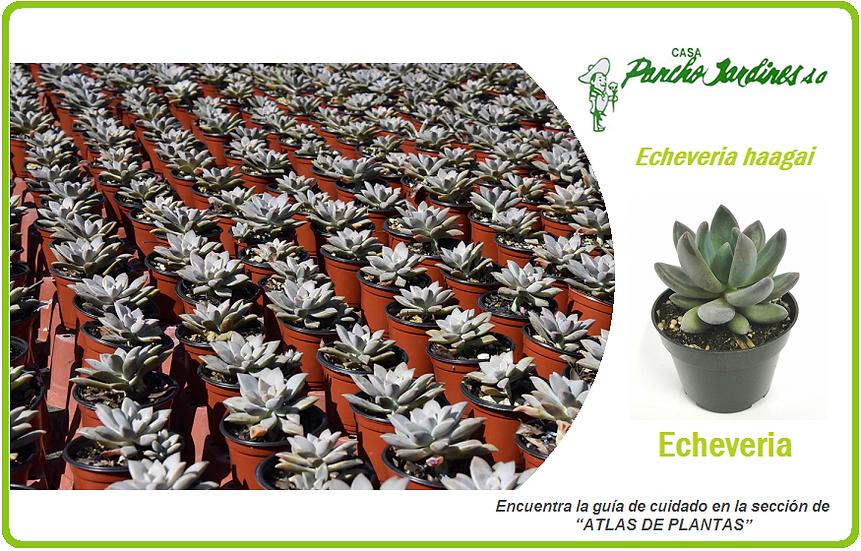 """PLANTA ECHEVERIA HAAGAI, MACETA 4"""" Echeveria spp"""