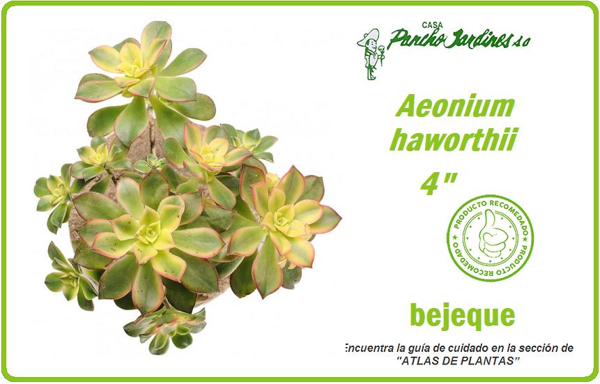 "PLANTA CRASULA BEJEQUE DE RISCO, EN MACETA 4"" aeonium haworthii"