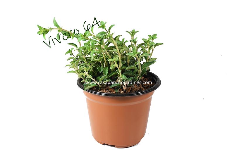 """PLANTA DE OREGANO ORGANICO (Origanum vulgare) EN MACETA DE 5"""" CON MULCH"""