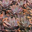 "Thumbnail: PLANTA GRAPTOVERIA FRED IVES EN MACETA DE 4"""