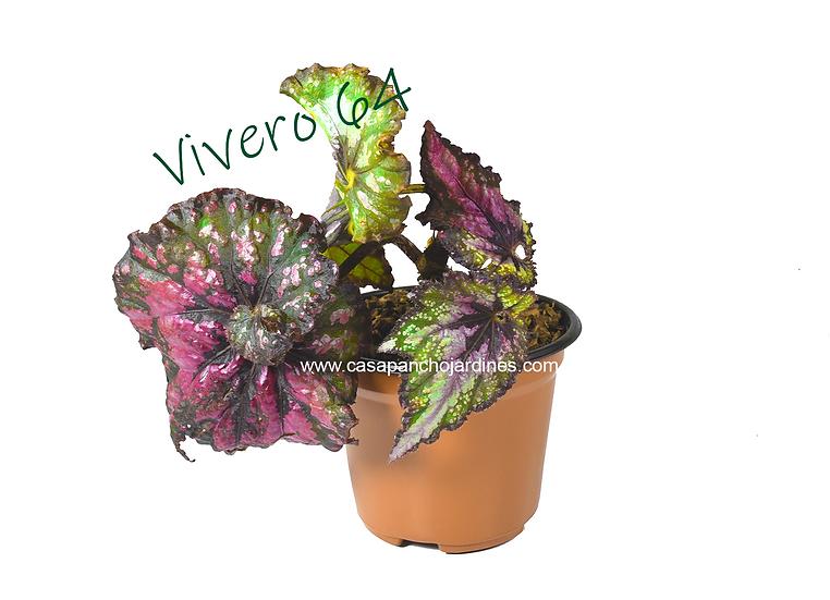 """BEGONIA REAL O DE  COLOR (Begonia rex)EN MACETA DE 5"""""""