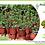 """Thumbnail: PLANTA SEDUM RUBROTICUM 4"""" SUCULENTA, sedum rubroticum"""