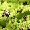 "Thumbnail: PLANTA SEDUM ANGELINA 4"" SUCULENTA, sedum rupestre"