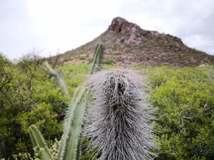 Cactáceas en el desierto