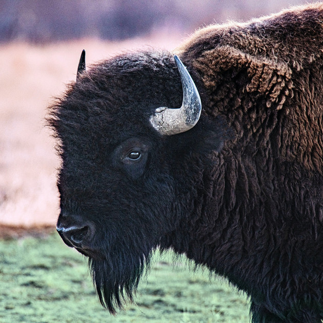 BISON IN THE GREATER YELLOWSTONE REGION