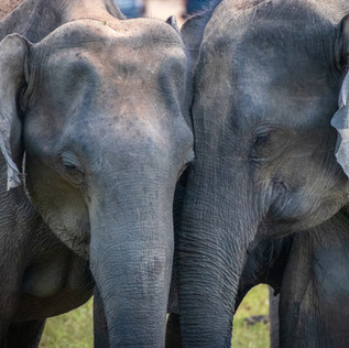 ASIAN ELEPHANTS IN THE HIMALAYAN REGION