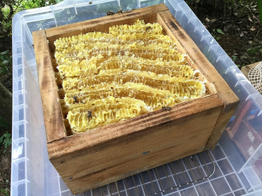 日本ミツバチの蜂蜜とれた