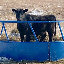 steer in round bale.JPG