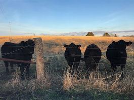 2020 steers.jpg