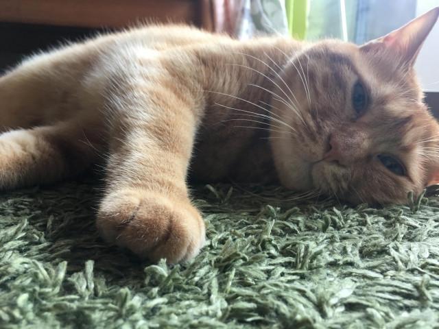 heatstroke_cat