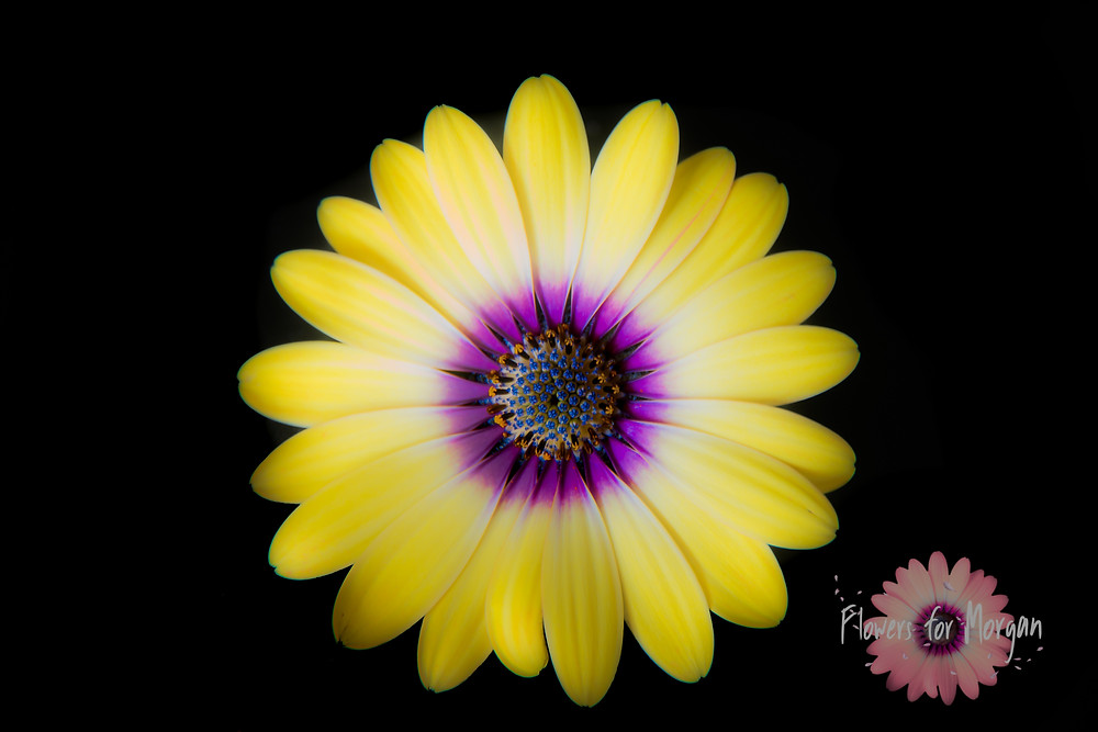 Flowers for Morgan - Osteospermum