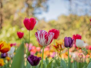 Tulip Tuesday
