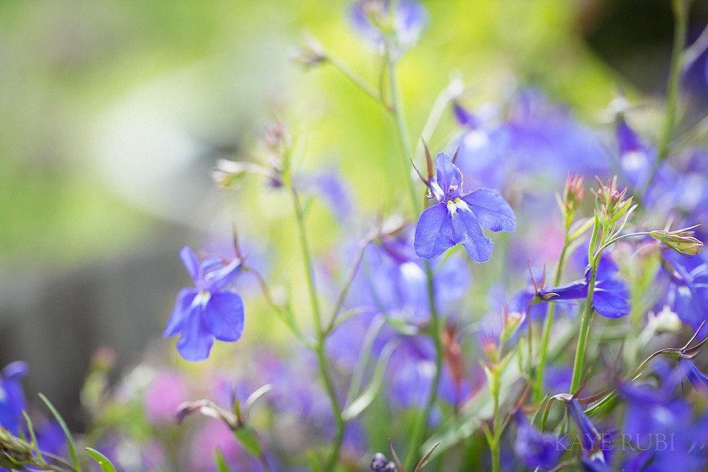 Blue Lobelia - Flowers for Morgan