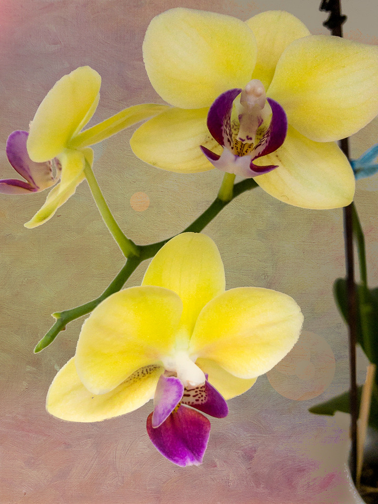 Orchid in the Office flowers for Morgan by swurv