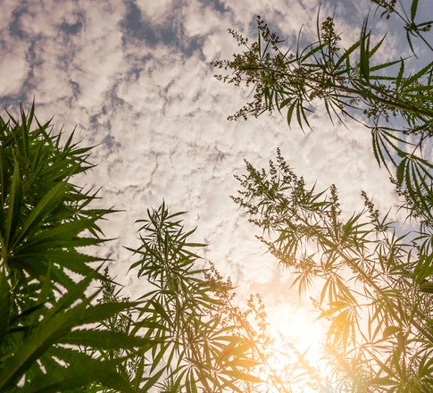 Projeto de lei propõe legalizar cultivo de maconha para uso medicinal e industrial no Brasil