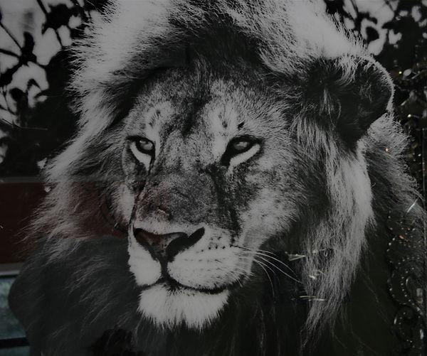 Ltd Edition of 50 lion