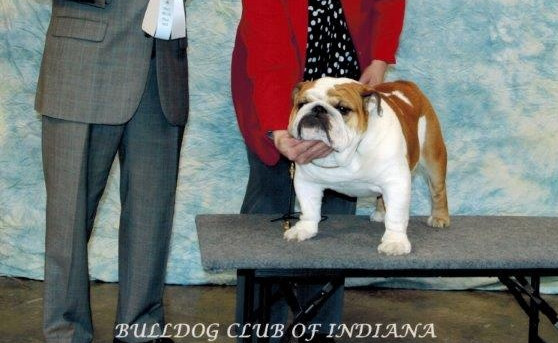 Boom was chosen Select Dog by breeder Judge Harrold McDermott on the day following his BISS.  What a wonderful weekend in Indiana!!
