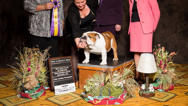 Boom was chosen Best of Breed at the Nationals Back up show of the Bulldog Club of Denver by Breeder Judge Claudia Brown