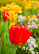 Red Tulip.jpg