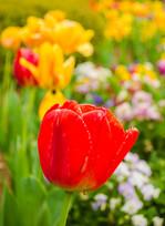 Tulip - J Eric Stanford.jpg