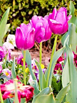 Purple Tulips - J Eric Stanford.jpg