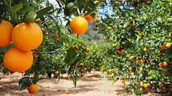 32 - Fotolia_81731397_orange grove - 39.