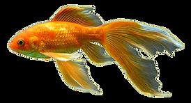peixedourado.png