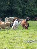 Cows on pasture 002.jpg