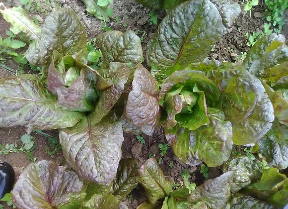 Red Romaine Lettuce - Syl