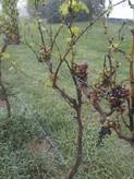 grape vines.JPG
