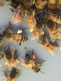 Bees with Pollen .PNG