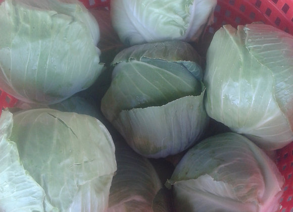 Green Cabbage Plant- GHF