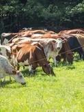 Cows on pasture 001.jpg