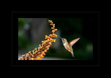 """""""Calliope Hummingbird"""" by Nikki Washburn"""