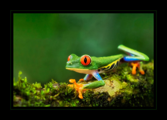 """""""Red-Eyed Beauty"""" by Bobby Tan"""