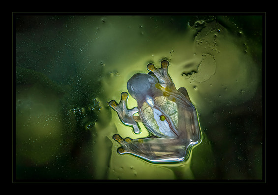 """""""Glass Frog - The View from Down Under"""" by Bobby Tan by"""