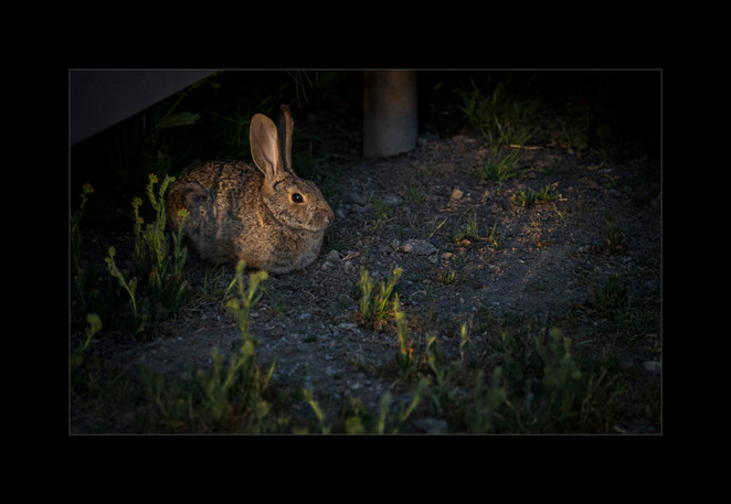 """""""Hidden Hare in Late Afternoon"""" by Kevin High"""
