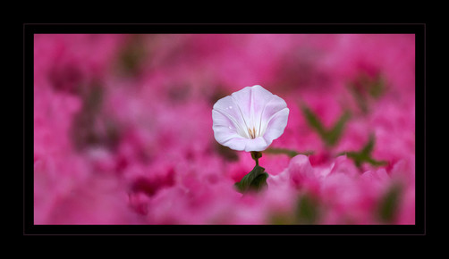 """""""Pink Passion"""" by John Powers"""