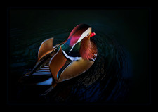 """""""The Worlds Most Beautiful Duck"""" by Bobby Tan"""
