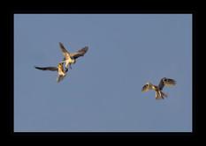 """Aerial Food Transfer"" by Bobby Tan"