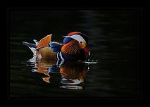 N_A Sitting Duck_Bobby Tan.jpg