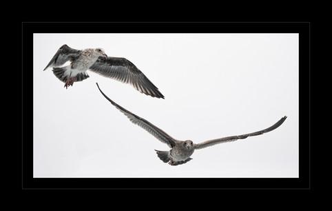 """2 Seagulls, 1 Shot"" by Steven Rood"