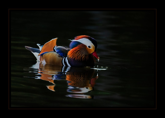 """""""A Sitting Duck by Bobby Tan"""