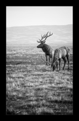 """""""Two Tule Elk Graze and Gaze"""" by Kevin High"""