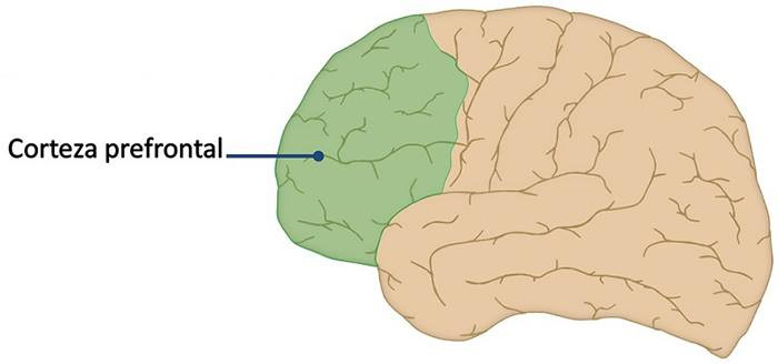 Corteza prefrontal.