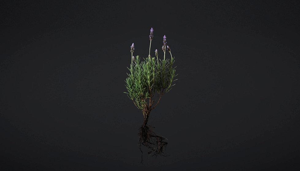 NaturalDoc_Lavender.jpg