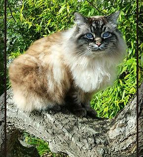 Kahlua Cat