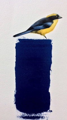 Blue Winged Mountain Tanager  11x17 Oil on Paper  2017