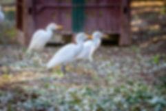 """תצלום תקריב של אנפיות בקר בכרם הזיתים של משק חר""""ג כפר חסידים , תצלום מתקופת המסיק"""